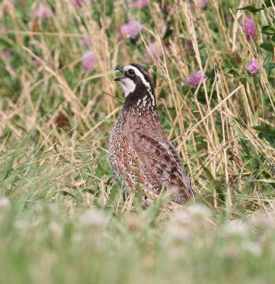 Bobwhite quail covey